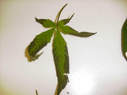 nedostatek fosforu během vegetativní fáze