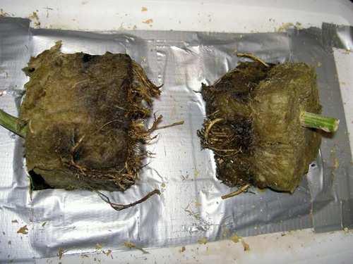 plíseň kořenů způsobená chemická spálením kořenů